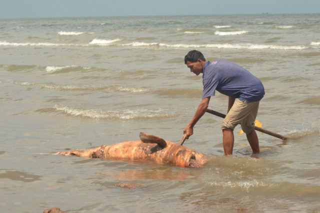 One more Irrawaddy dolphin is found dead along the coast of Cambodia in Kep  province