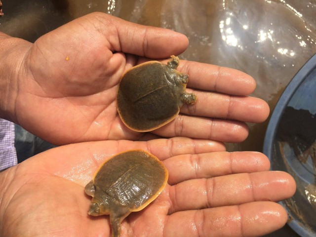 Cambodia to release 200 endangered giant softshell baby turtles into Mekong River