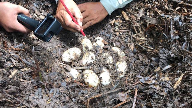 48 eggs of rare Siamese crocodile found in Southwestern Cambodia