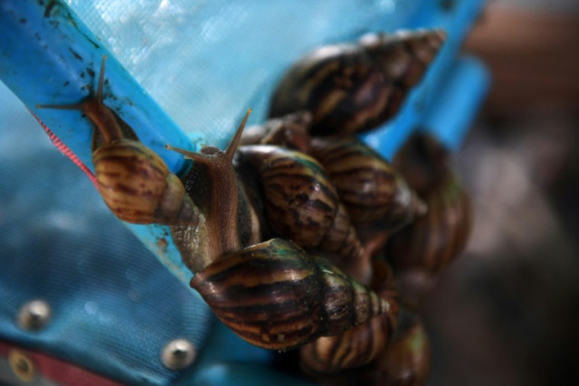 Thai farmers on the cash trail with snail slime