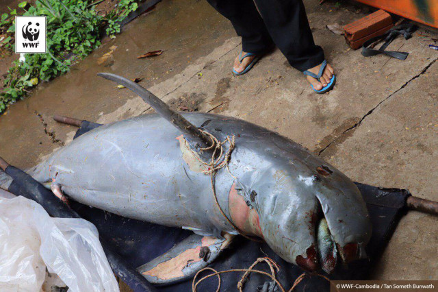 Rare Mekong river dolphin dies in gillnets in Cambodia: conservationist group