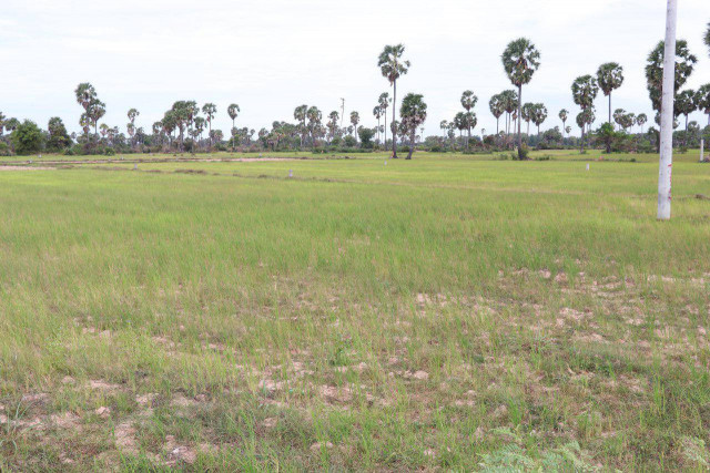 Siem Reap risks losing 'many' hectares of rice to drought