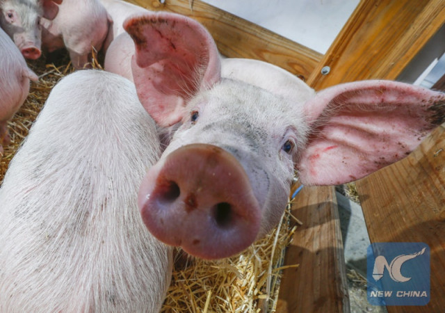 Philippines confirms 1st case of African swine fever