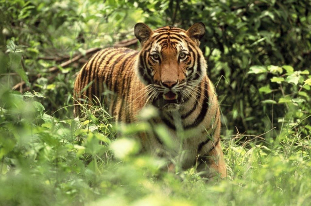 Breaking Radio Silence on Cambodia's Tigers