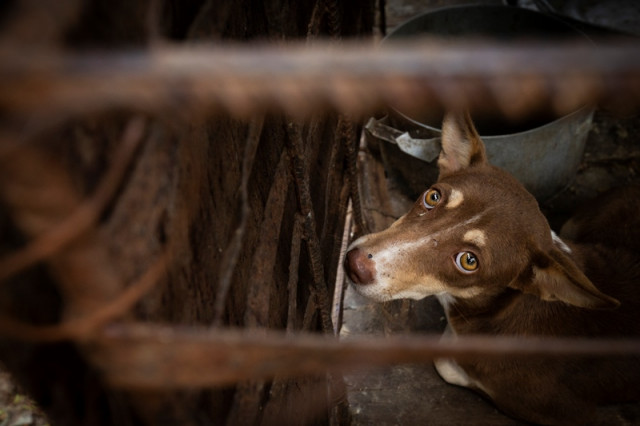 Is the Dog-Meat Trade Growing in Cambodia?
