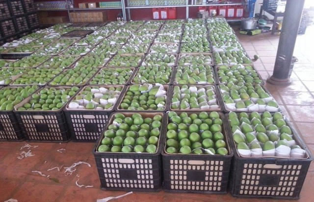 Cambodia still Missing out on the Chinese Mango Market