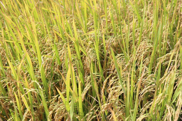 Cambodia's rice export up 38 pct in 7 months