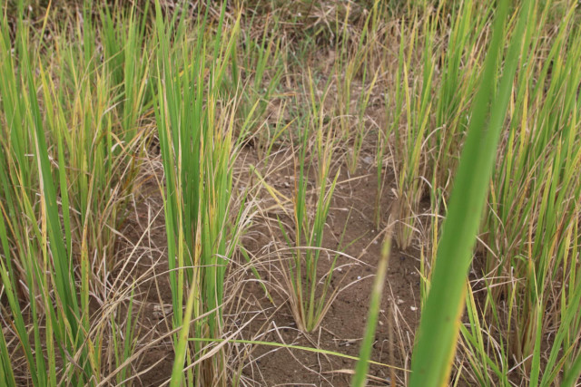 Droughts Ravage Rice Farms Across Banteay Meanchey Province