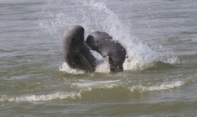The Irrawaddy Dolphin Population in Cambodia Is Estimated at 89