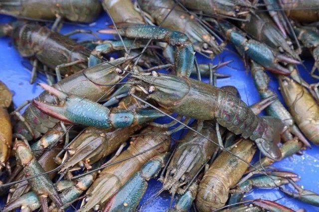 Takeo Lobster and Shrimp Catches Down due to Environmental Degradation