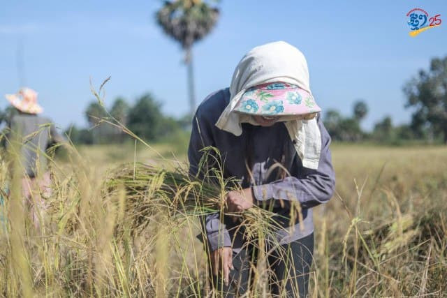 Cambodia's Rice Exports Increase