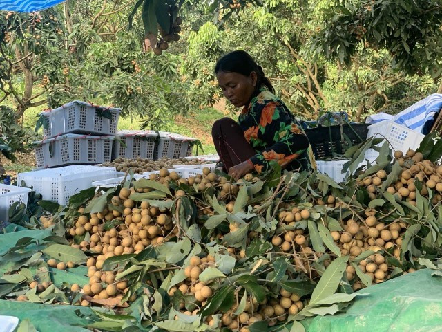 Pailin Longan Farmers Call Out Thai Importers Blocking Trade Routes