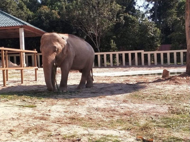Lonely Pakistan elephant quickly adapts to new home in Cambodia