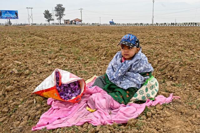 Climate change ravages Kashmir's 'red gold' saffron crop