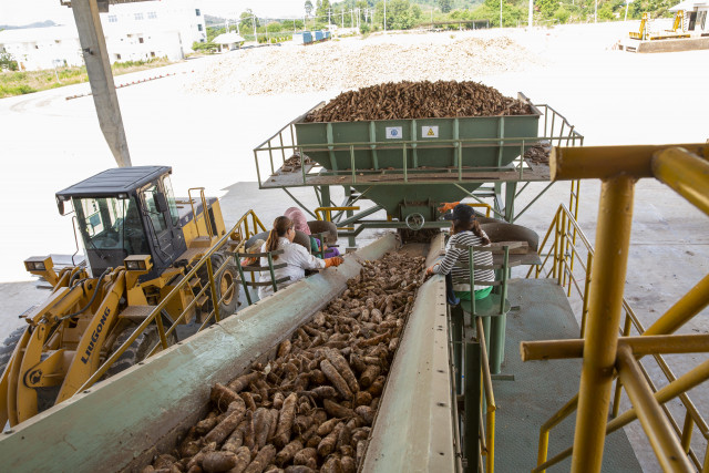Cambodia launches policy to boost cassava production, export