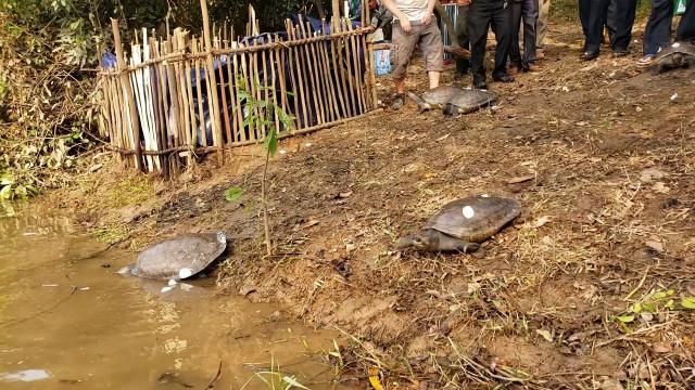 10 Rare Royal Turtles Released into Natural Habitat in Cambodia