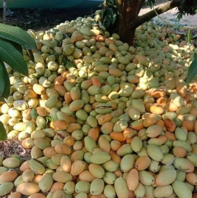 Mango Growers Complain as Prices Further Decline and Buyers Are Scarce