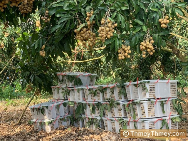 Farmers Set for Pailin Longan Export to China
