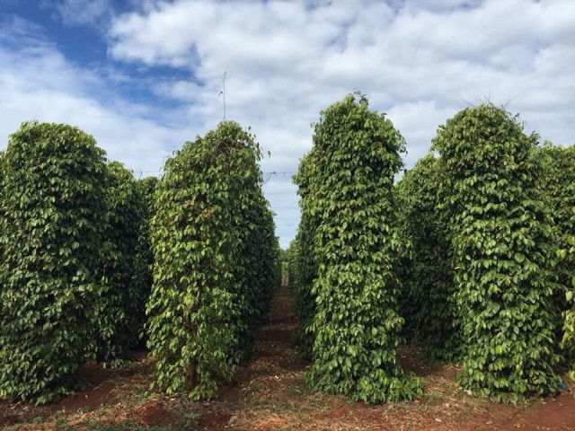Farmers Get Relief as Pepper Prices Rise
