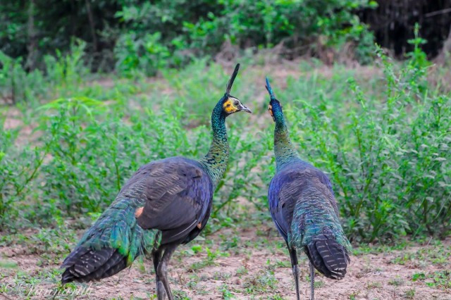 Cambodia's Peacock Population Increases as Numbers Fall Globally