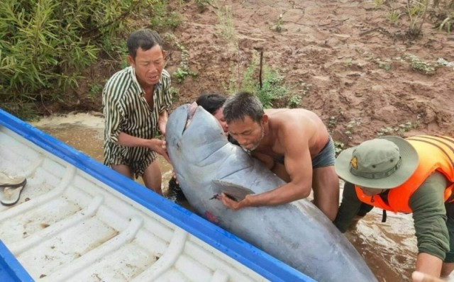 Second Irrawaddy Dolphin Found Dead in Stung Treng in Two Months