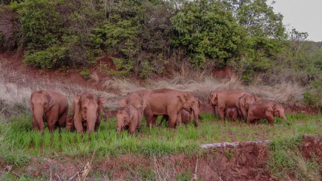 China's migrating elephant herd keeps heading southeast