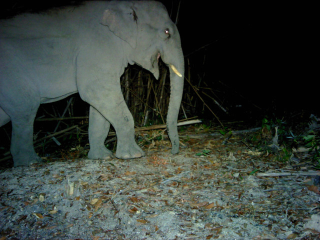 Endangered Elephants Located in Cambodian Jungles