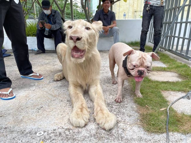 Confiscated Lion Returned to Chinese Owner Following PM Hun Sen's Intervention