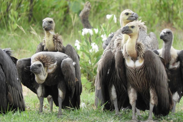 Rare vulture population in Cambodia declines further: latest census