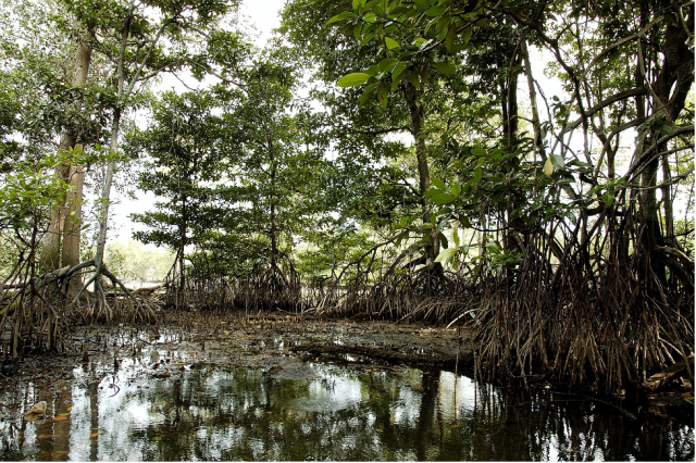 Mangroves Help Fight Climate Change, Support Other Biodiversity Areas
