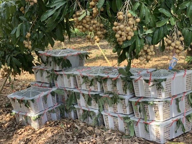 Longan Growers Ask the Cambodian Authorities to Help Speed up Exports to China