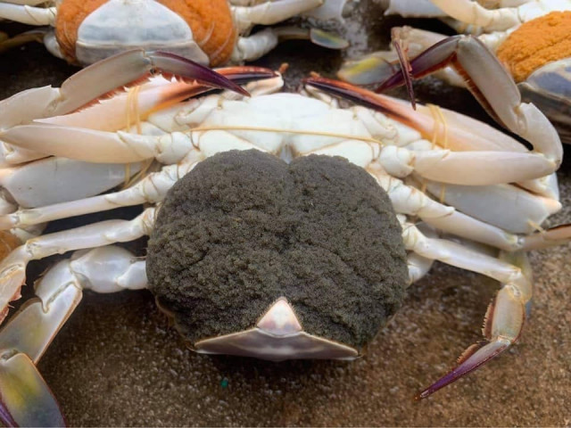 Consumers' Fondness for Crabs Carrying Eggs May Put the Species in Jeopardy, a Fisheries Official Says