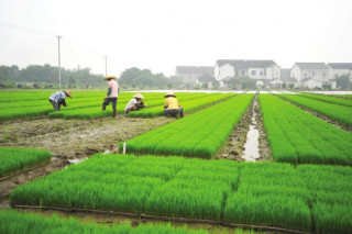 Laos to produce over 5 mln tons of rice annually by 2025