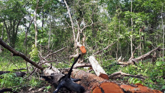 Prey Lang Community Network voices great concern over rapid increase of illegal logging