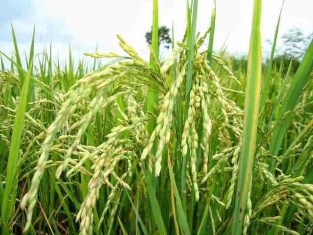 Cambodia, Myanmar seen increasing share of world rice market