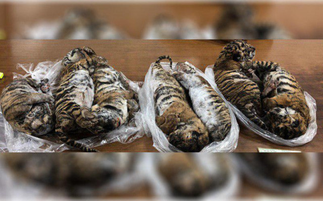 Seven dead tigers found in car in Vietnam