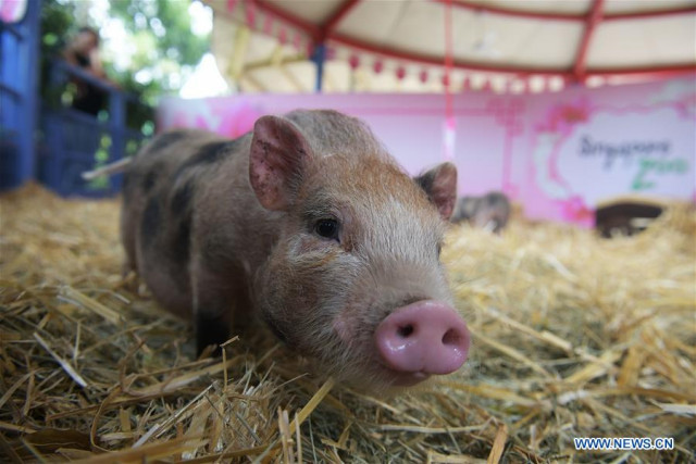 Pig hearts for human patients possible in 3 years