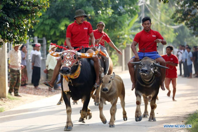 Traditional buffalo race attracts crowds of spectators in Cambodia