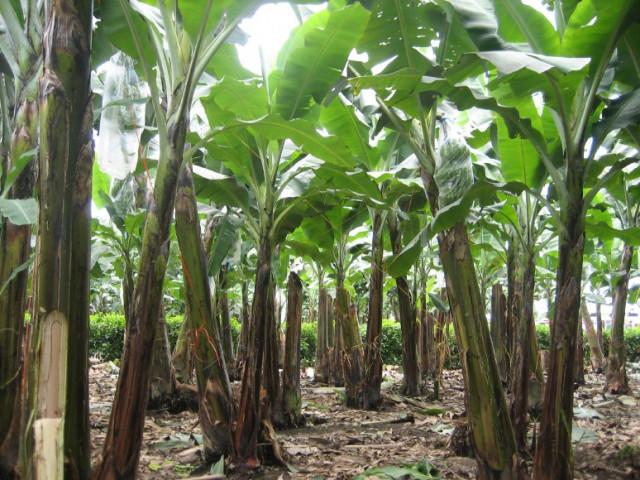 Banana Trees' Revenge