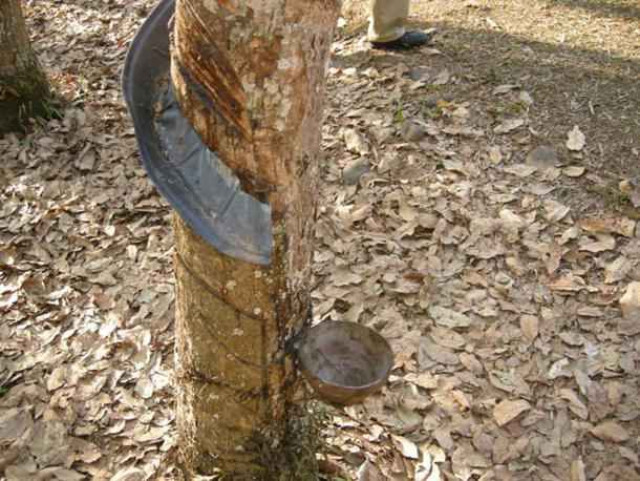Cambodia's rubber export up 30 pct last year