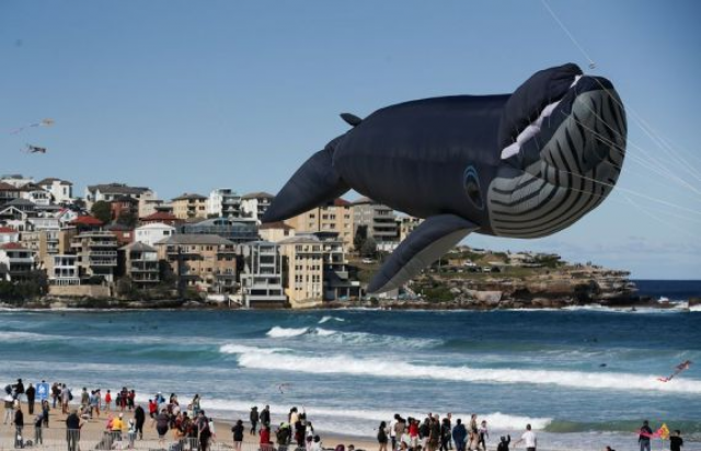 Australian man fined after rescuing whale calf