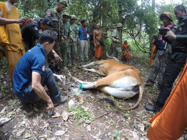 Four Endangered Bantengs Killed by Hunters in Cambodia This Year