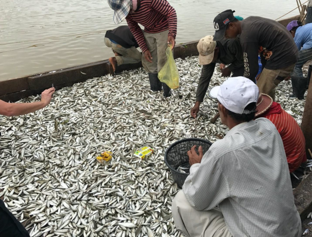 Migration of small mud carp species Henicorhynchus lobatus and H. siamensis (Trey Riel) in Tonle Sap system