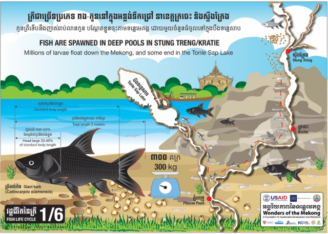 Fish are spawned in deep pools in Stung Treng/Kratie