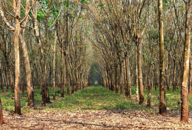 Cambodia's rubber export up 18 pct in H1