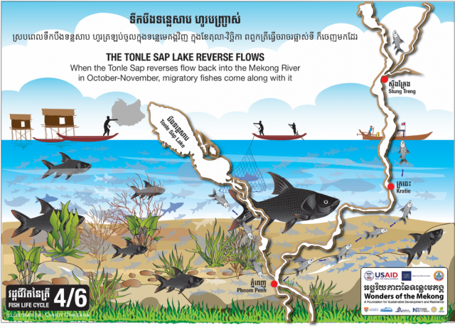 Hundreds of millions of fishes weighing millions of tons migrate along with reverse flows of the Tonle Sap Lake