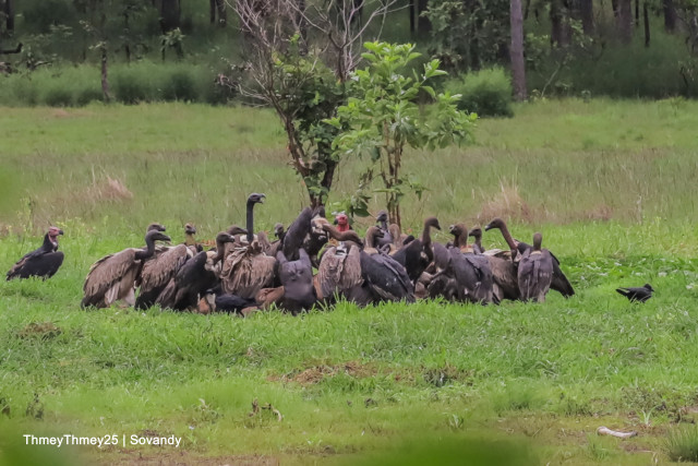 Cambodia's rare vultures remain on the edge of extinction: conservationist group