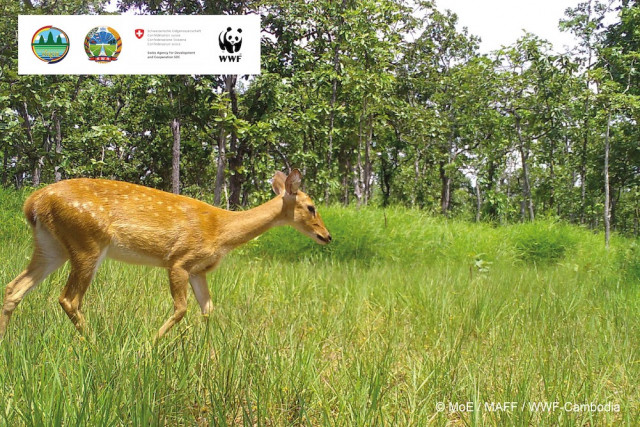 Four Endangered Eld's Deer Detected in Cambodia for the First Time in Five Years