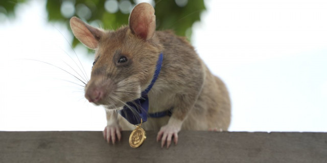 Landmine detection rat wins top UK animal bravery award