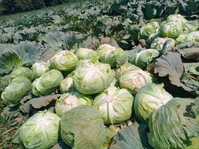 Low Market Prices for Cabbage Oblige Many Cambodian Farmers to Sell at a Loss